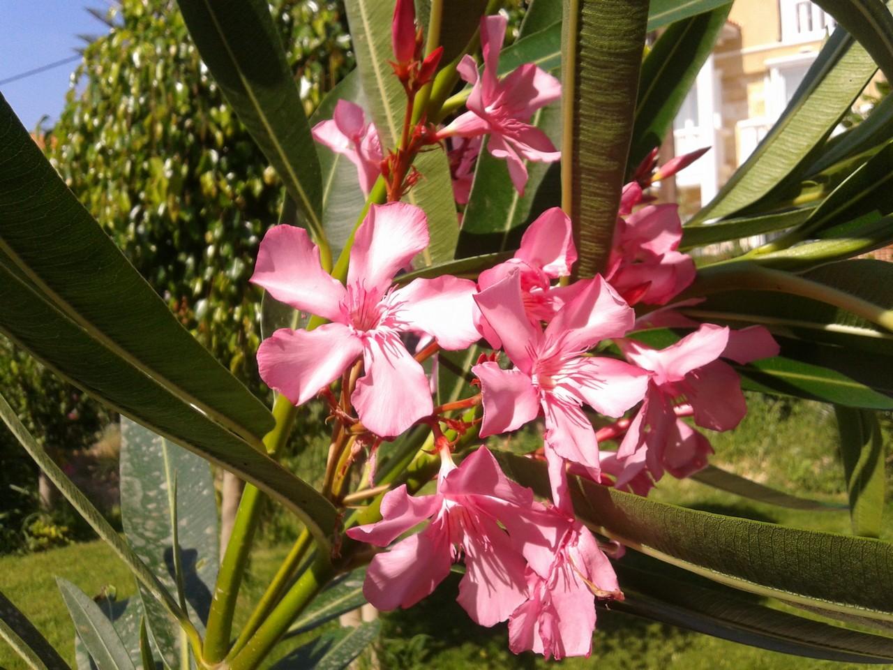 Олеандр розовый. Блиц: летние цветы