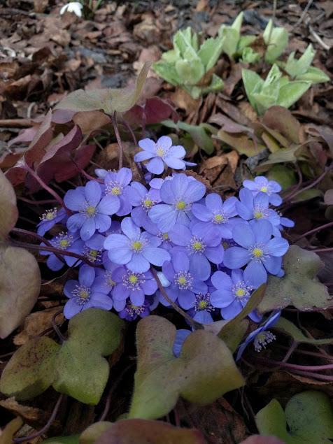 Печеночница. Блиц: летние цветы