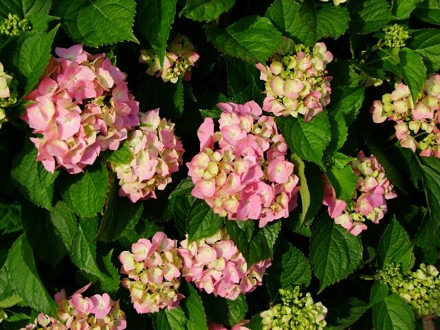 Красавица-Гортензия. Блиц: летние цветы