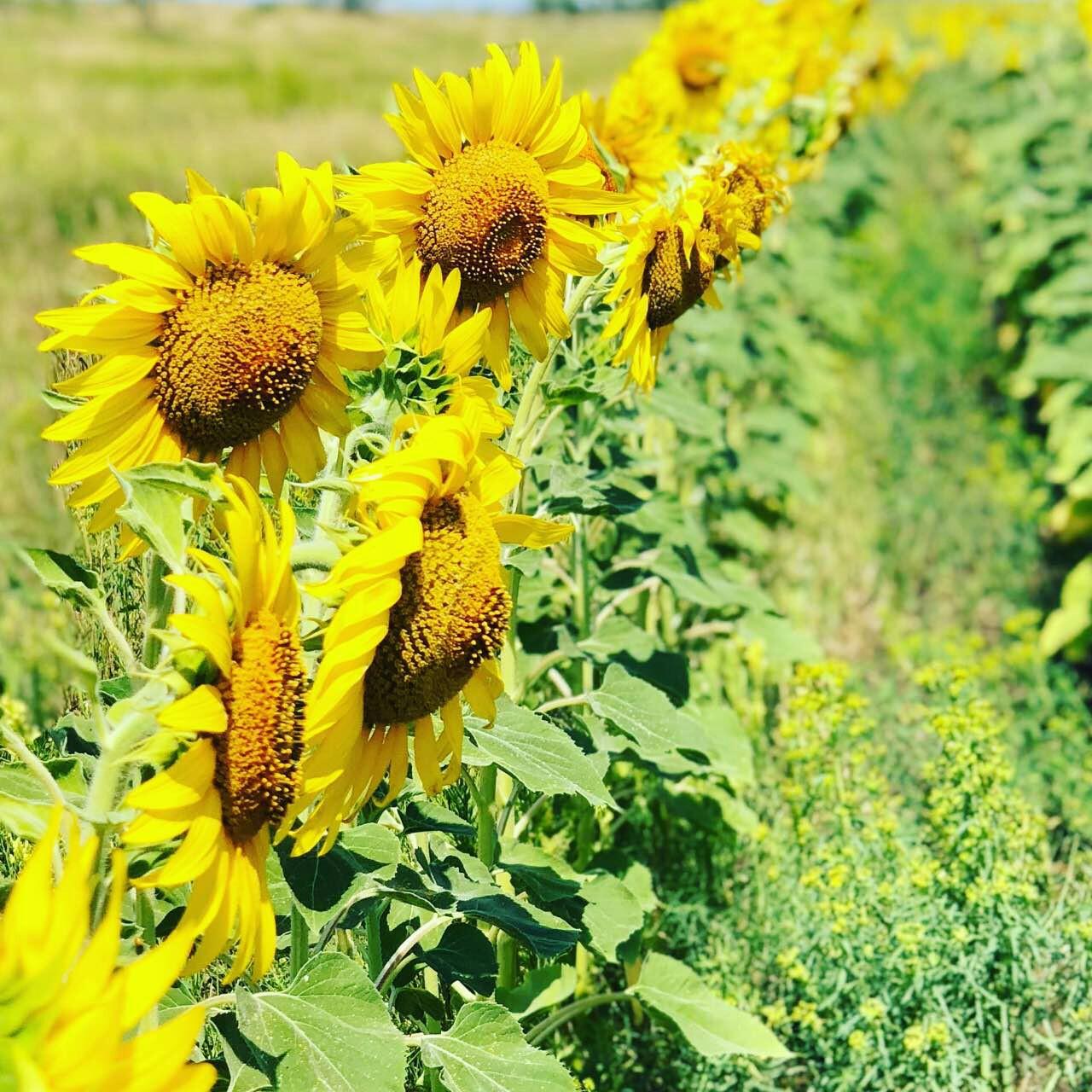Желтые подсолнухи. Блиц: летние цветы
