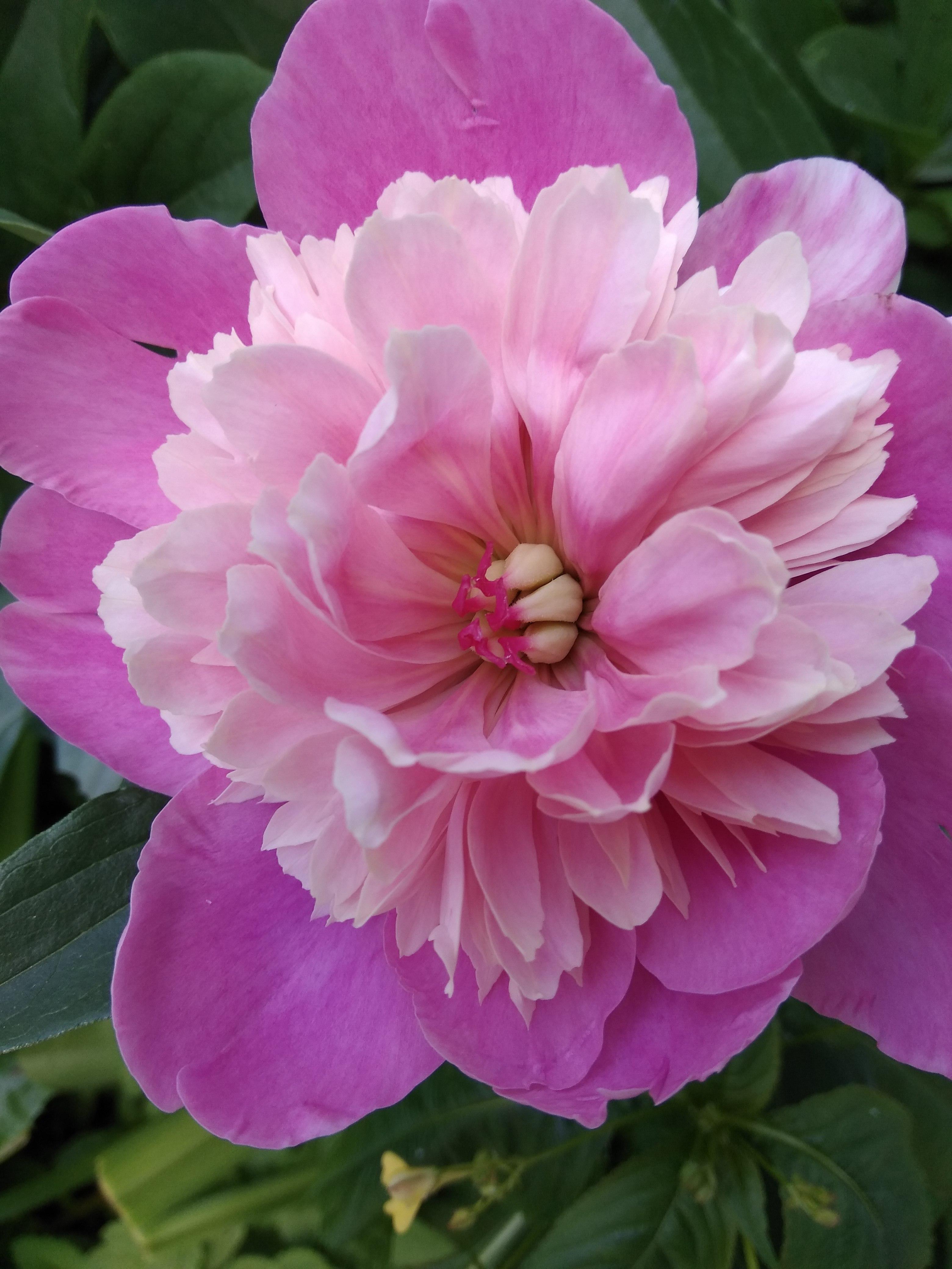Пион.. Блиц: летние цветы