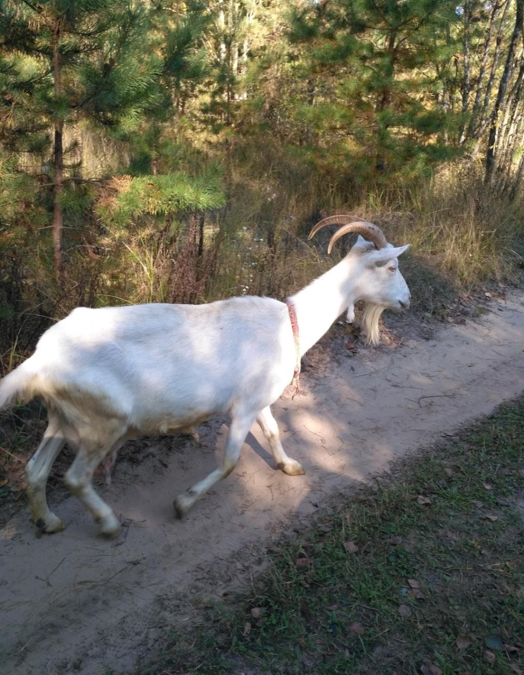 Идёт коза рогатая,... Блиц: скотный двор