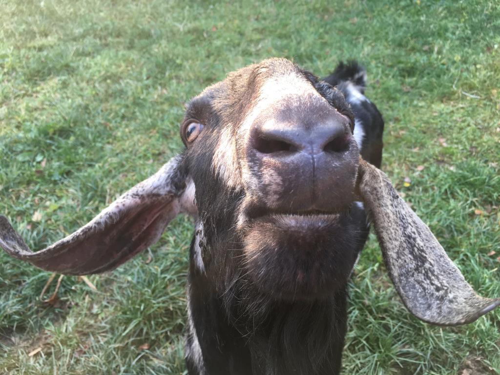 Англо-нубийский козел - мужчина самом расцвете сил. Блиц: скотный двор