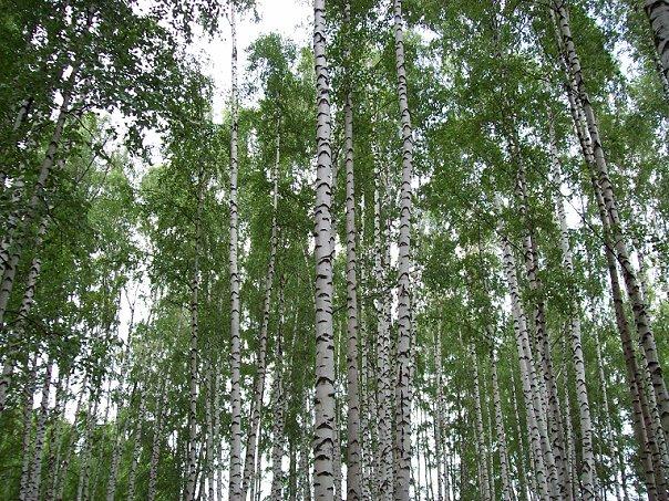 Полосатый лес. Блиц: полосы