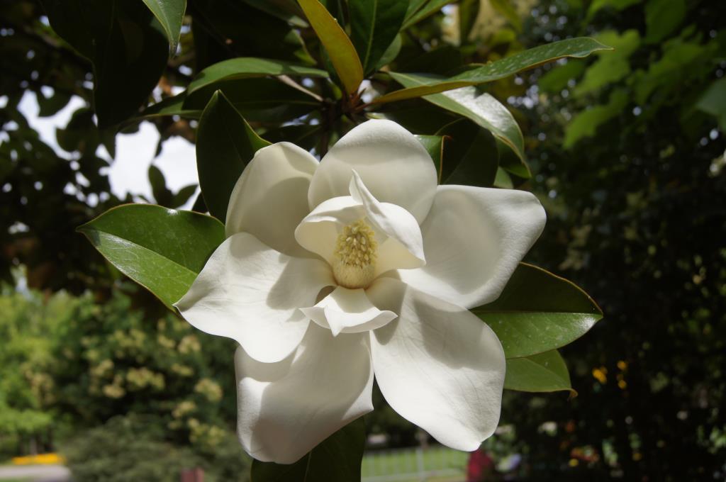 Магнолия цветет). Блиц: белые цветы