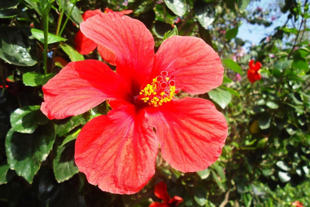 Каркаде . Блиц: красные цветы