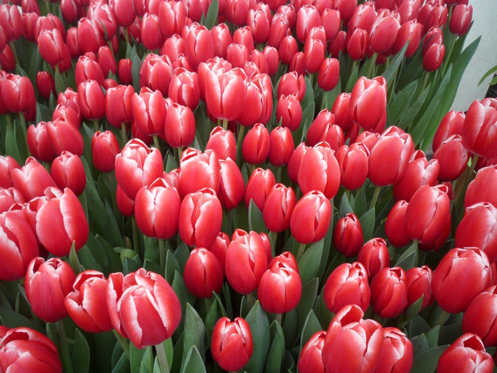 Красные тюльпаны. Блиц: красные цветы