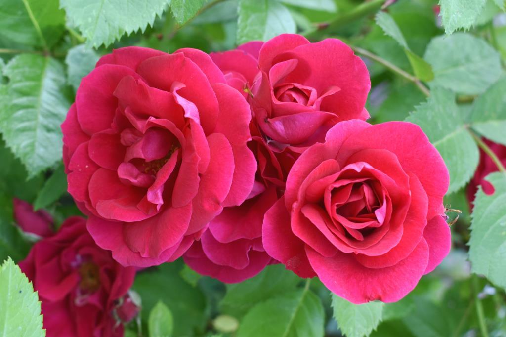 Садовые девчонки . Блиц: красные цветы