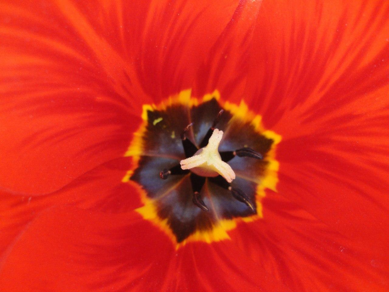 Сердце тюльпана. Блиц: красные цветы