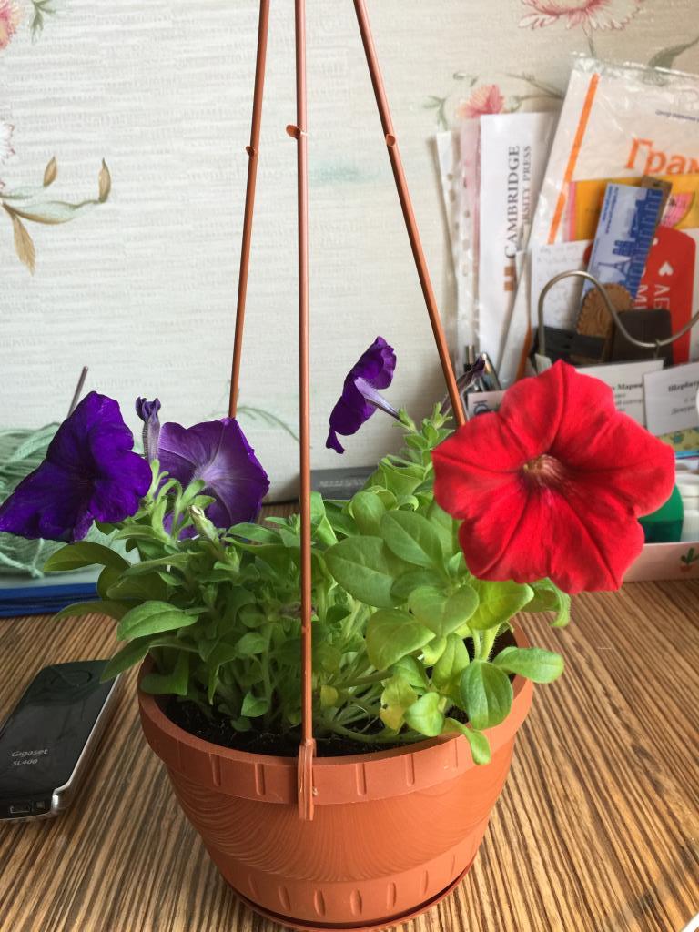 Петунья  в феврале . Блиц: красные цветы