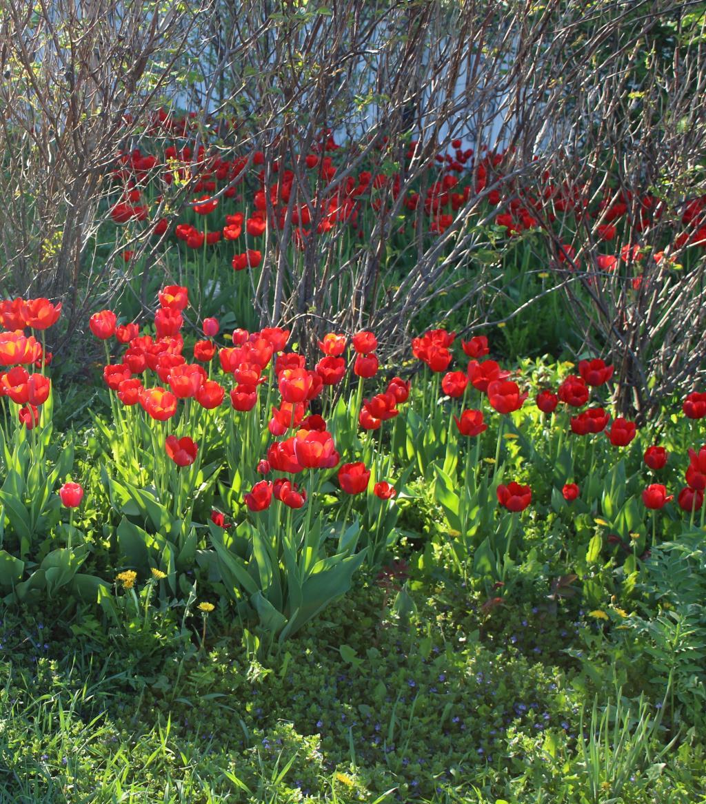 тюльпановое поле. Блиц: красные цветы