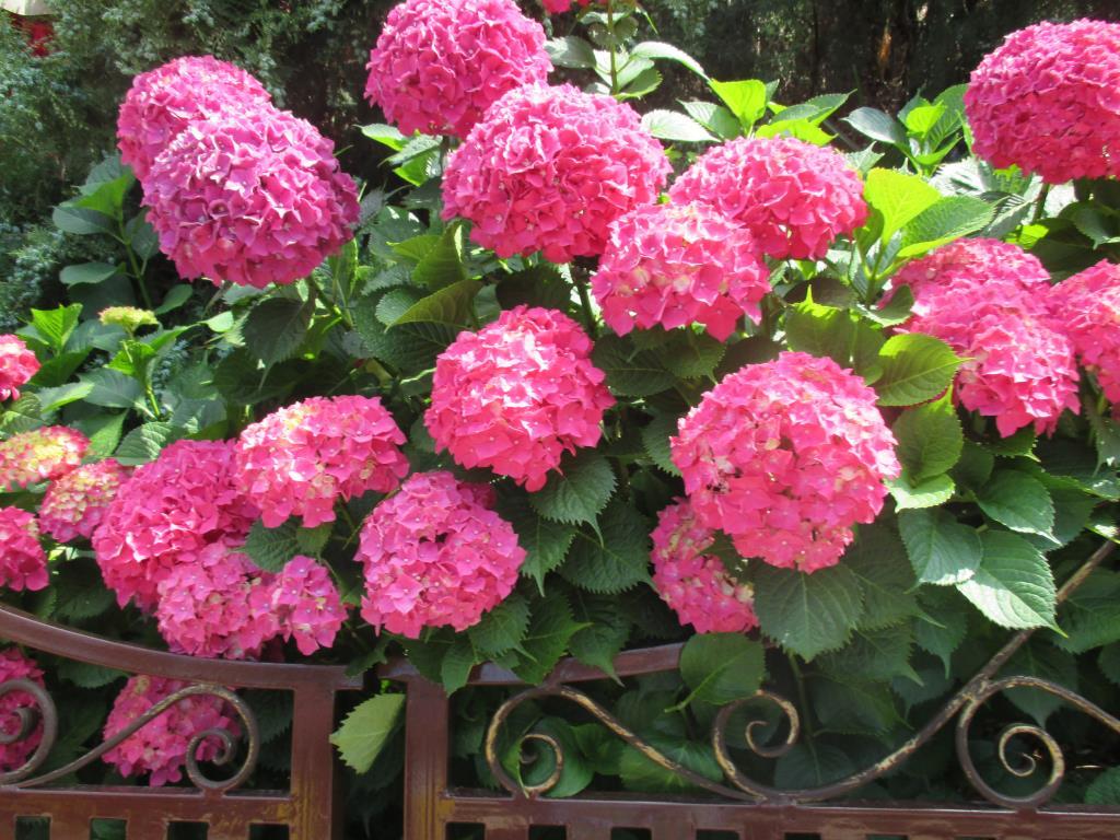 гортензия. Блиц: красные цветы