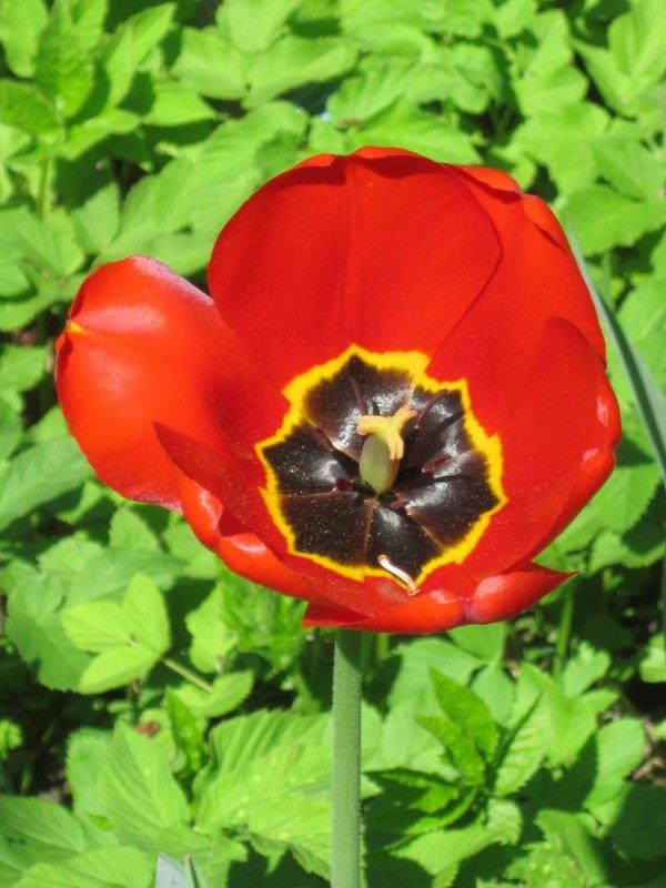 Крымский тюльпан. Блиц: красные цветы