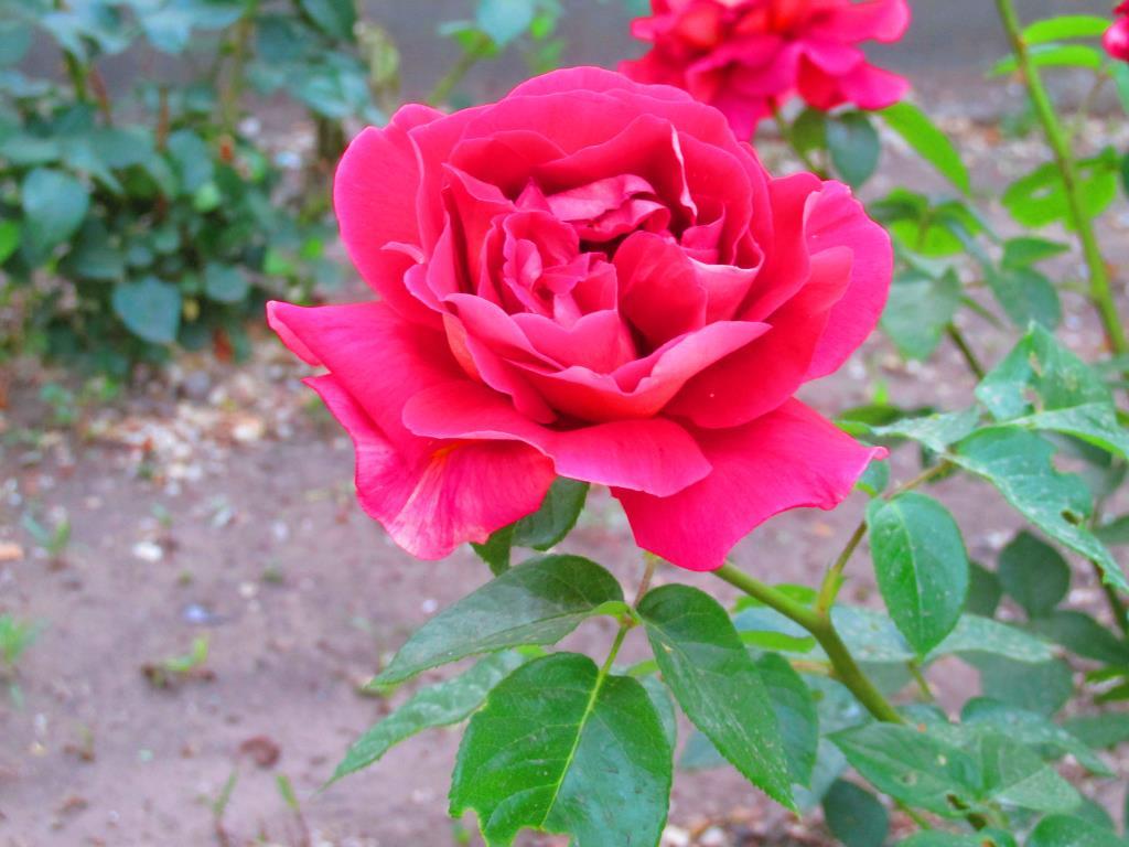 цветочек аленький. Блиц: красные цветы
