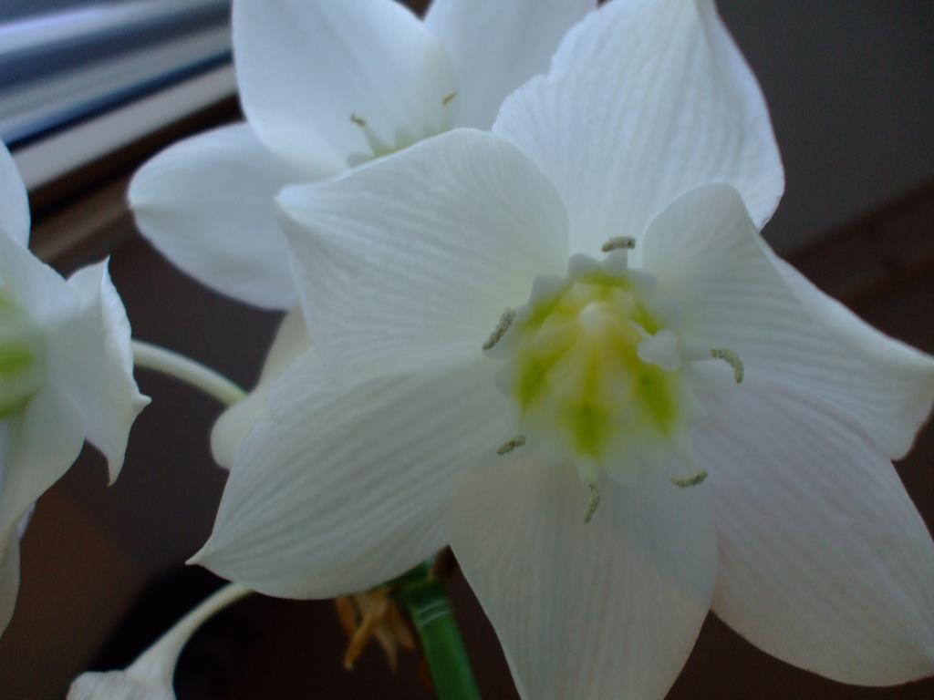 Эухарис радует своим цветом. Блиц: белые цветы