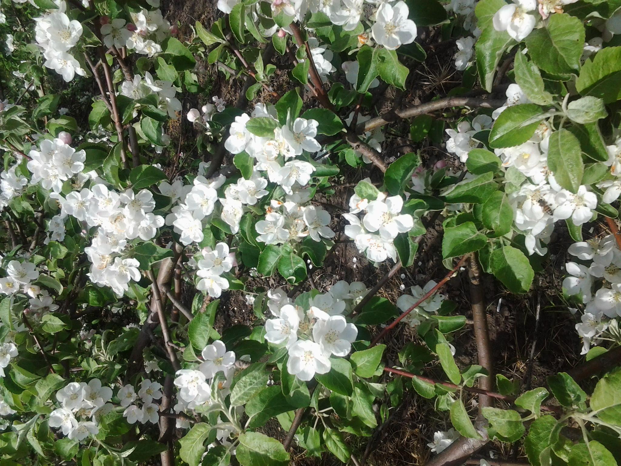 яблоня цветет. Блиц: белые цветы