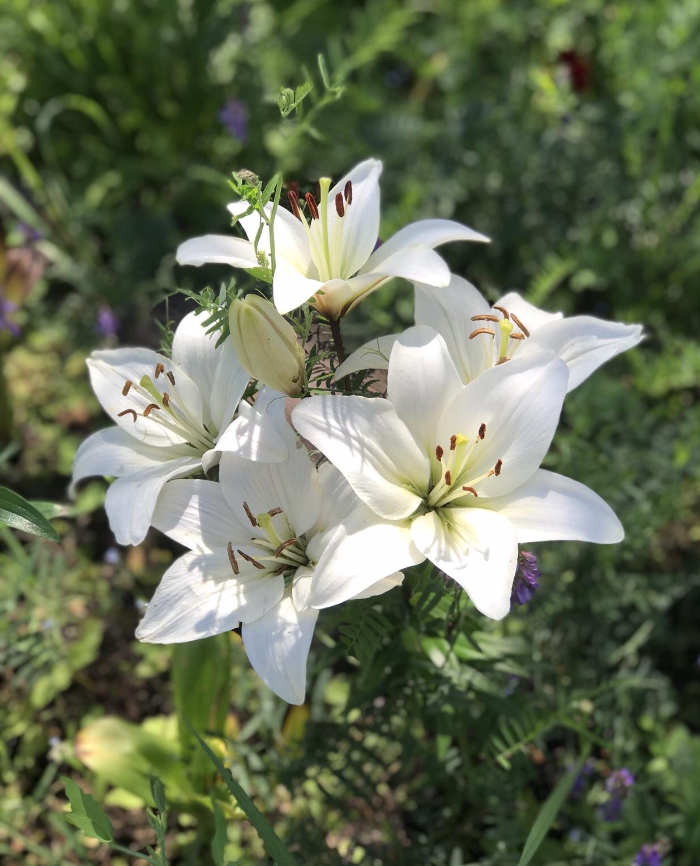 Лилия. Блиц: белые цветы