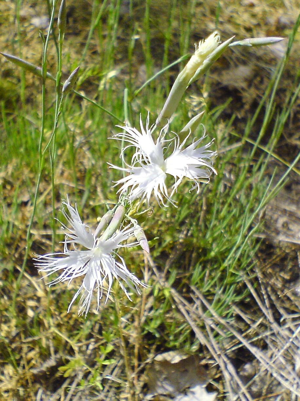 Лесная гвоздика. Блиц: белые цветы