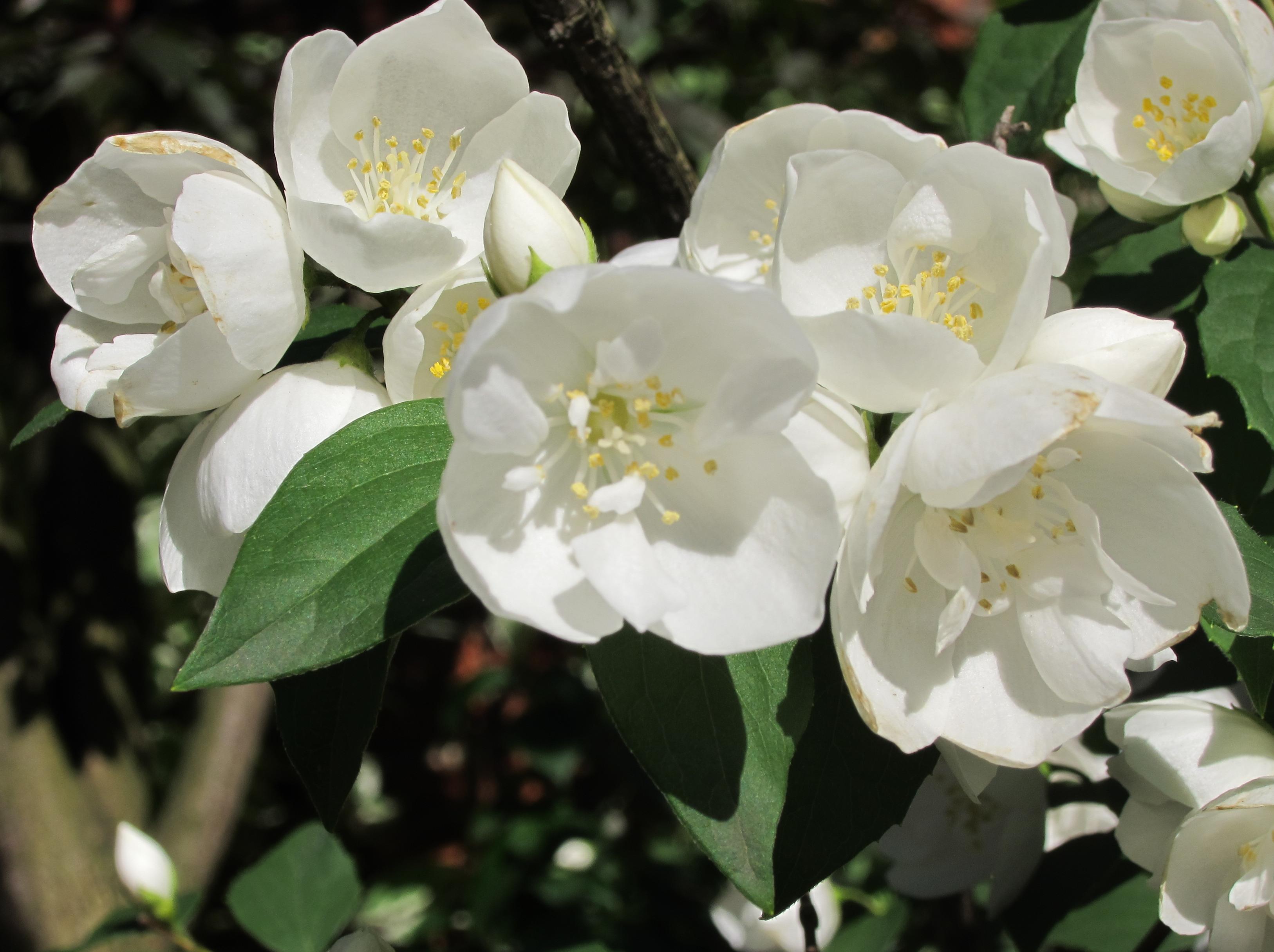 Жасмин нежнейший. Блиц: белые цветы