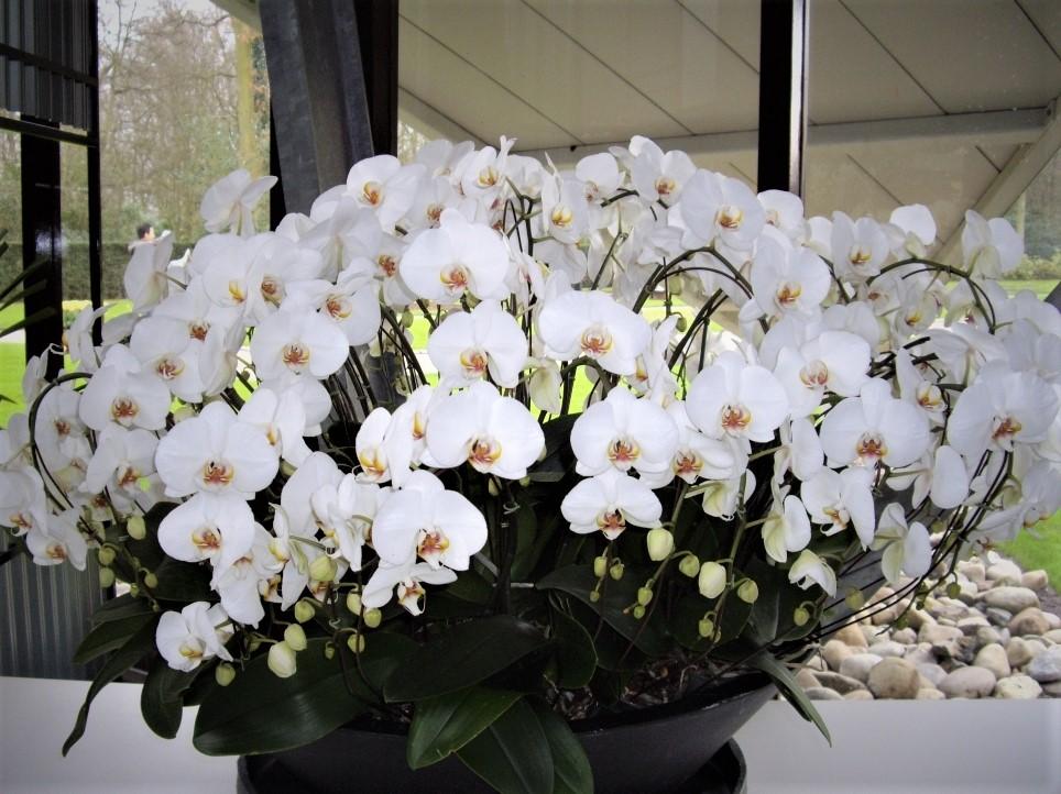 Композиция из орхидей.Парк Кейкенхоф.Нидерланды.. Блиц: белые цветы
