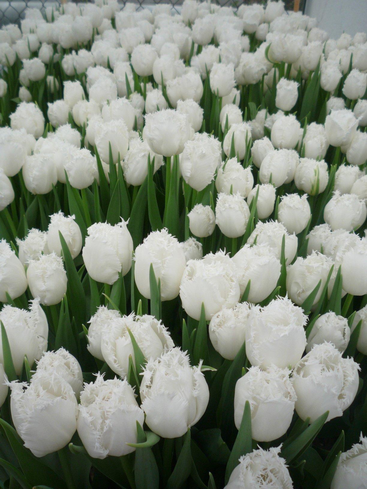 Белые тюльпаны. Блиц: белые цветы