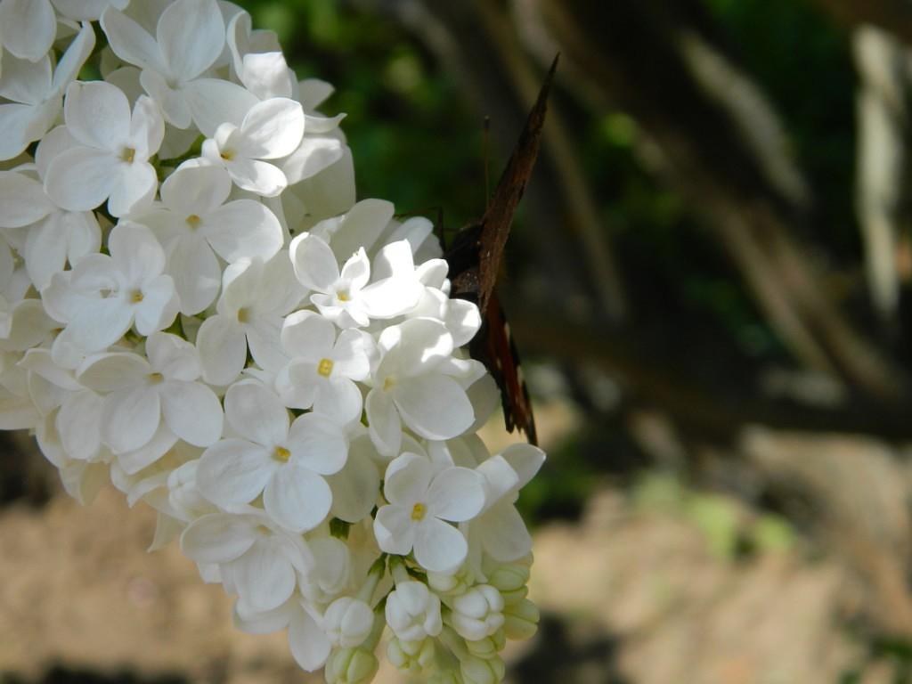 Белая сирень. Блиц: белые цветы
