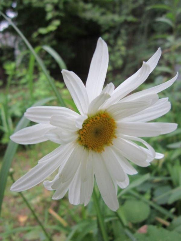 Белая ромашка. Блиц: белые цветы