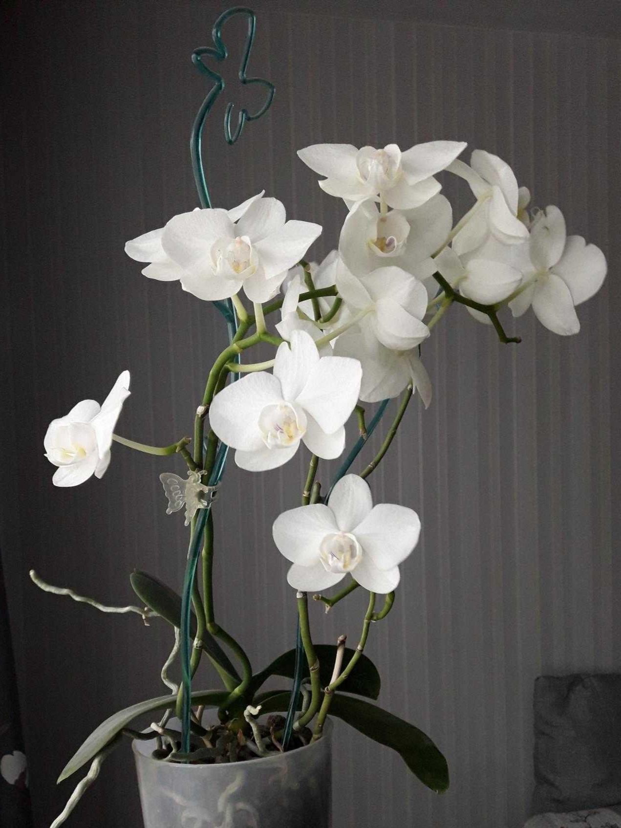 Моя орхидея. Блиц: белые цветы