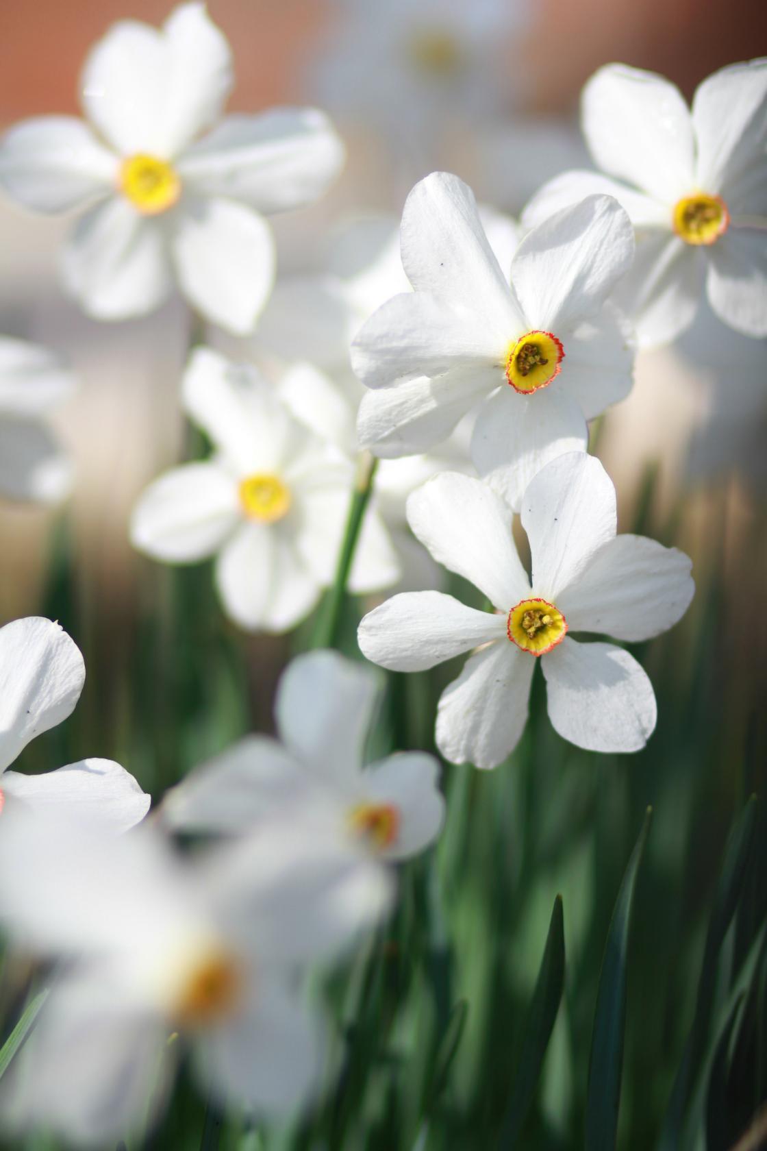 Белоснежные нарциссы!. Блиц: белые цветы