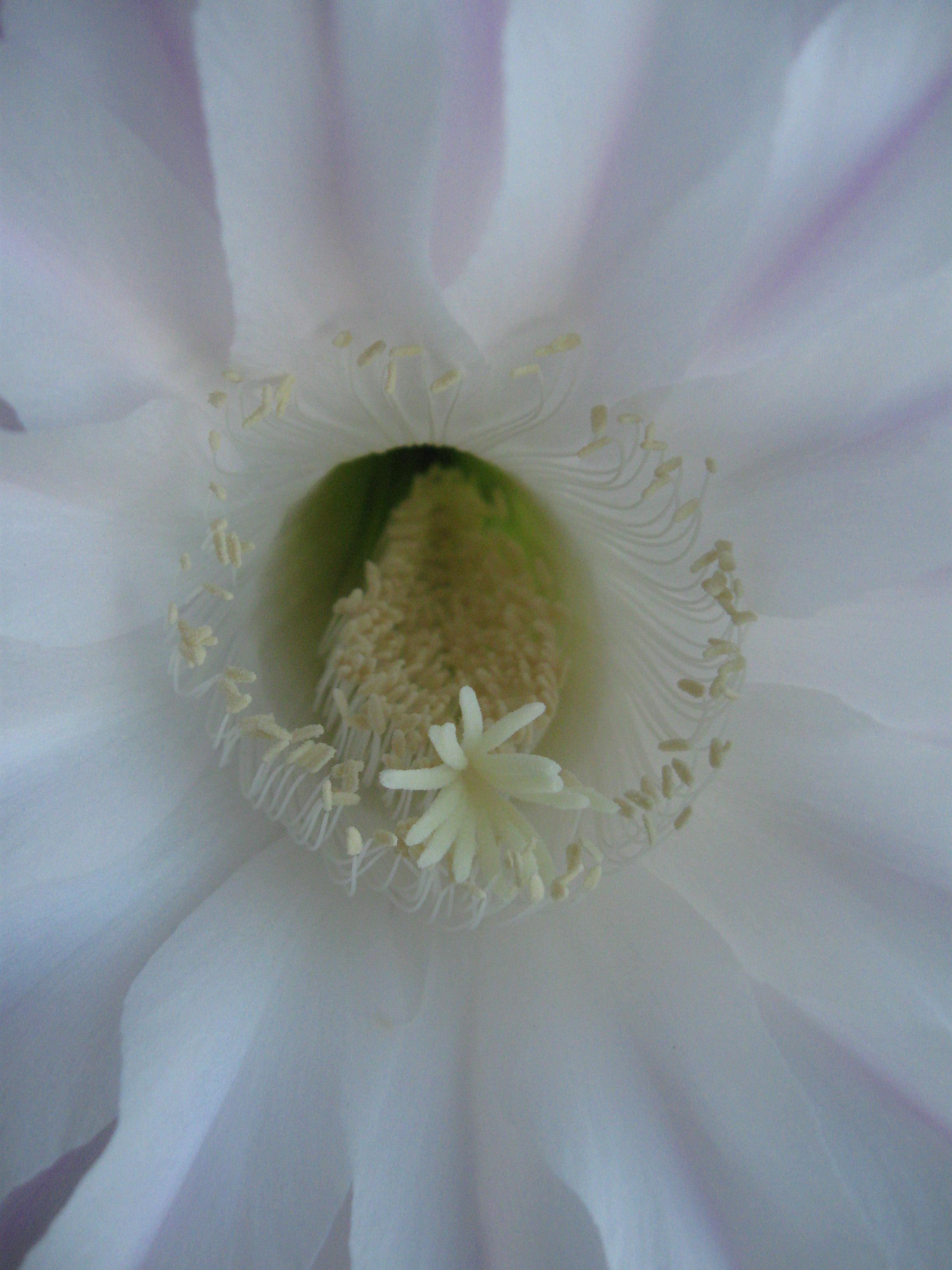 Кактус. Блиц: белые цветы