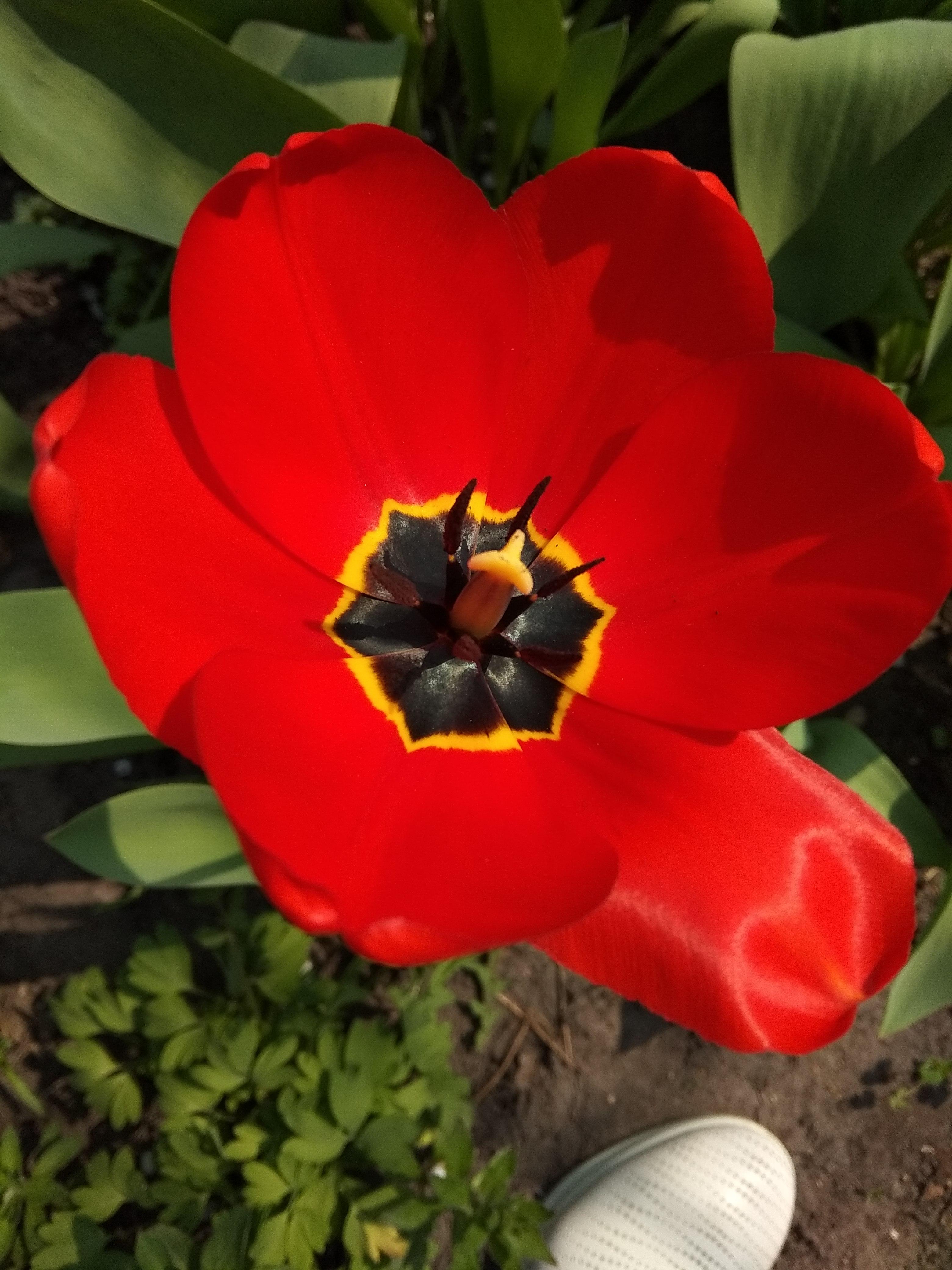 красный тюльпан. Блиц: красные цветы