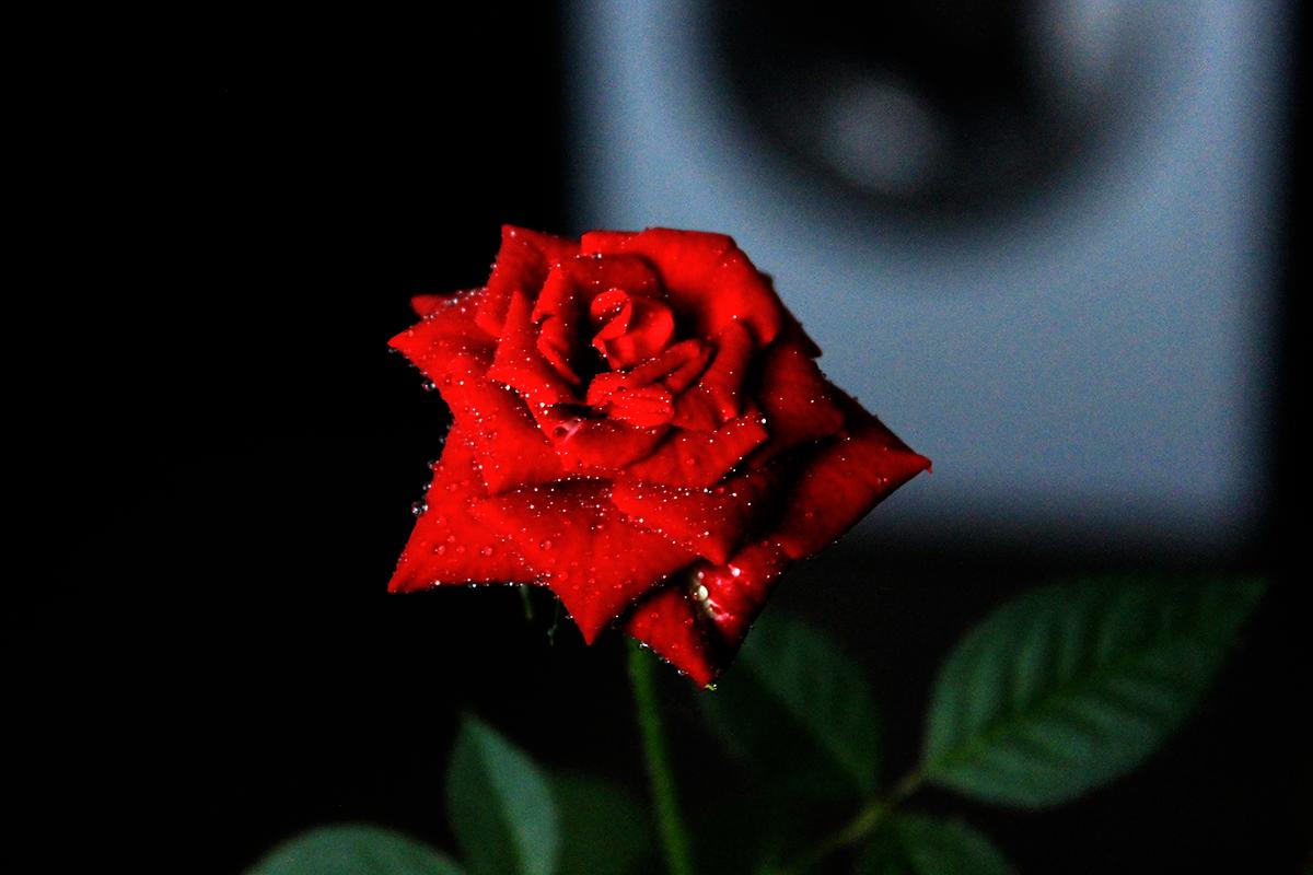 Домашняя розочка. Блиц: красные цветы