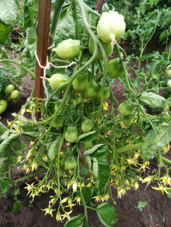 помидоры по-украински