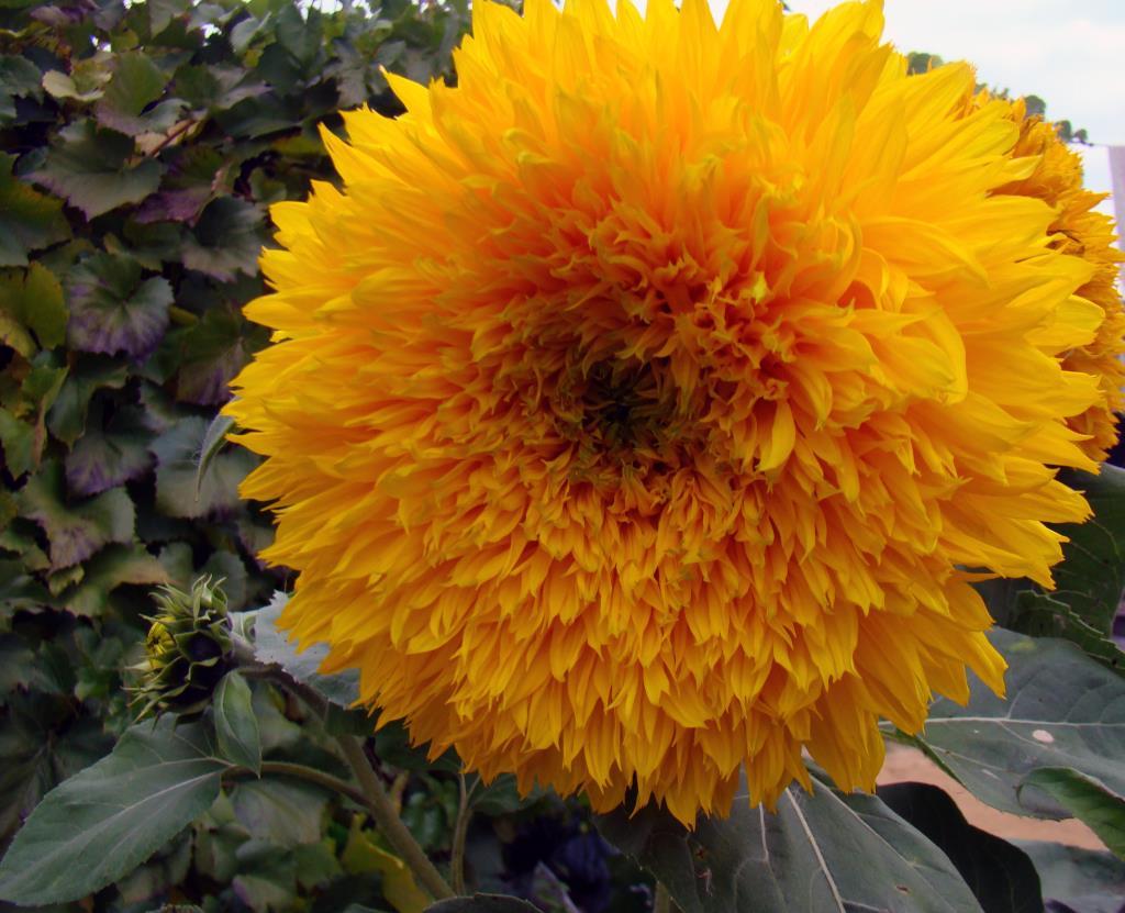 Подсолнух. Блиц: желтые цветы