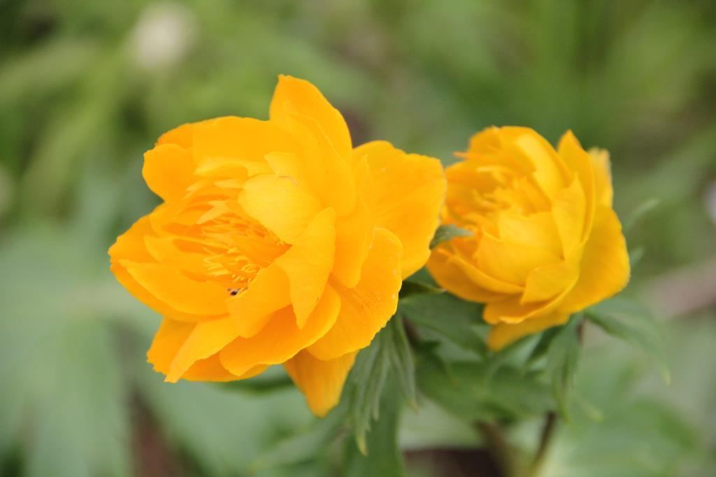 купальница. Блиц: желтые цветы