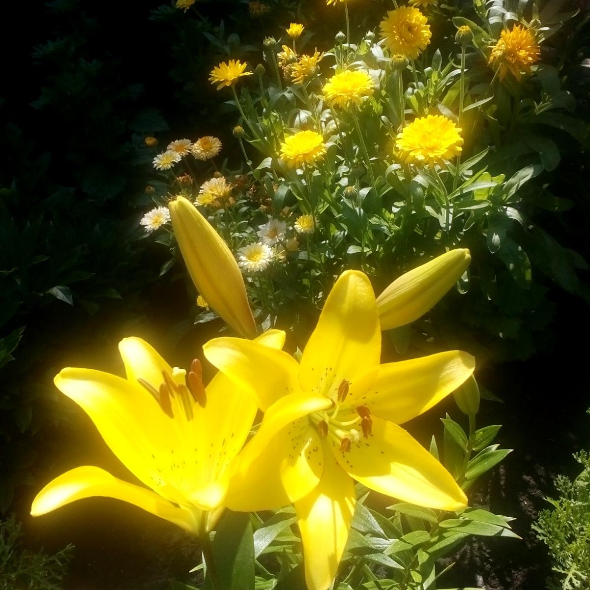 В добром соседстве лилии и календула. Блиц: желтые цветы