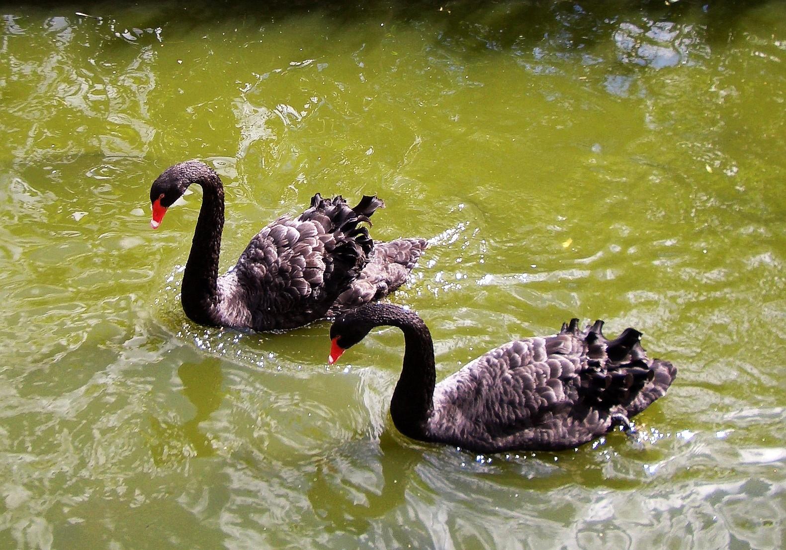 Чёрные лебеди. Московский зоопарк. . Блиц: птички