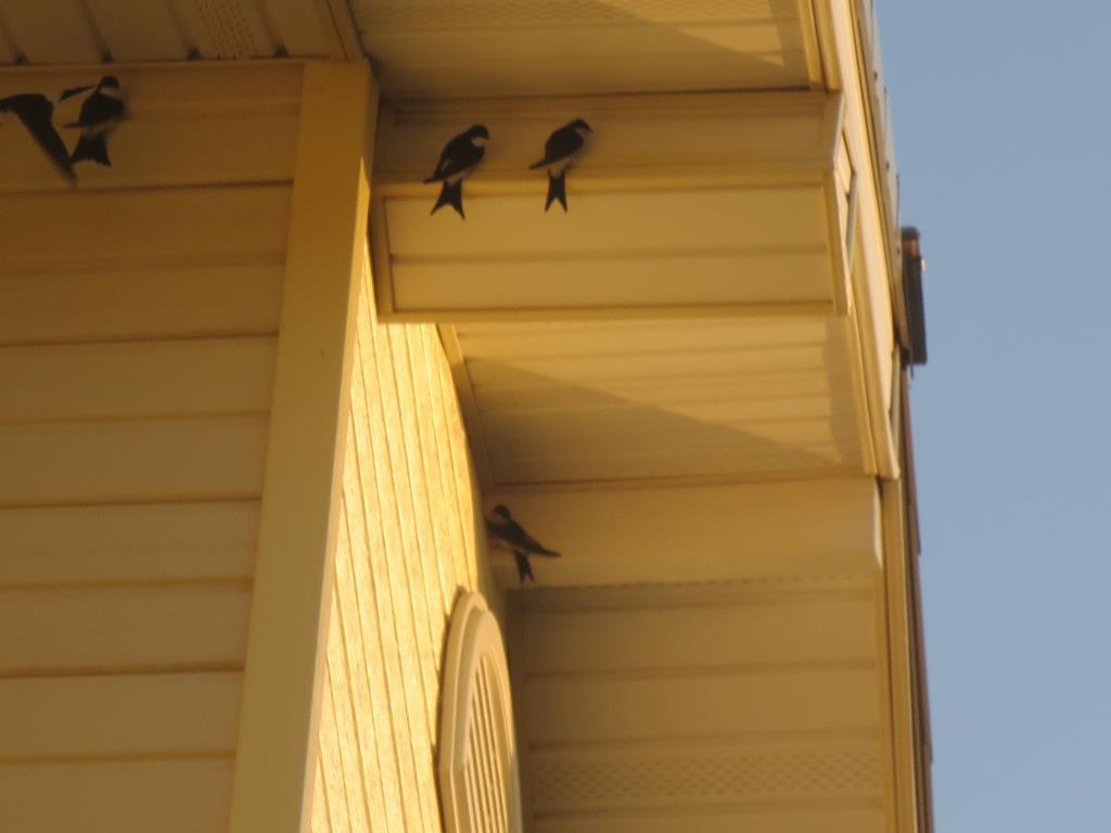 Ласточки под крышей дома моего.. Блиц: птички