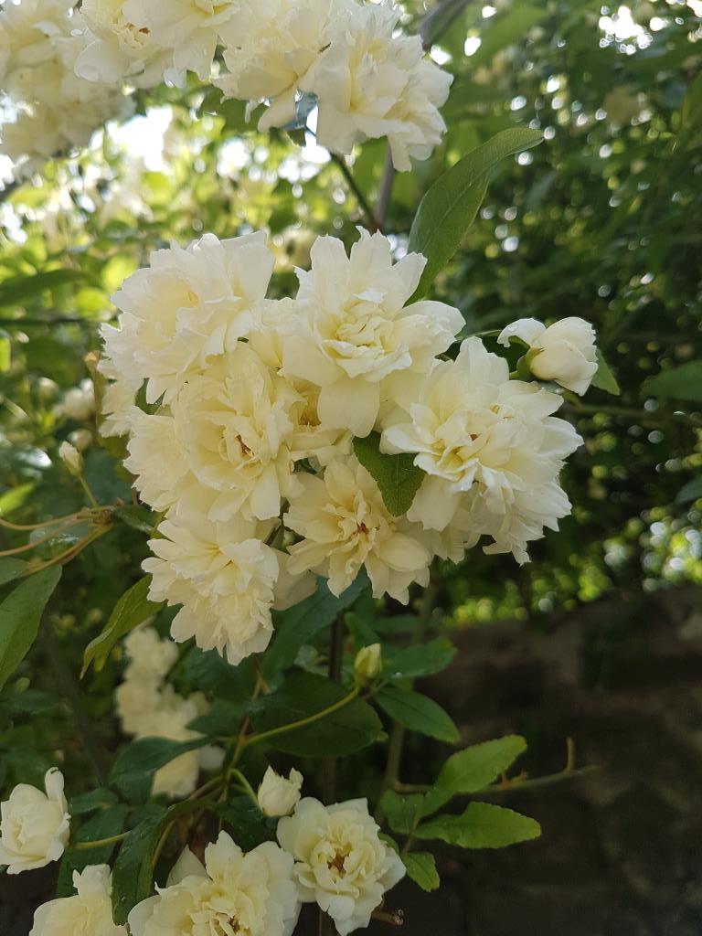 Чайная роза. Блиц: желтые цветы
