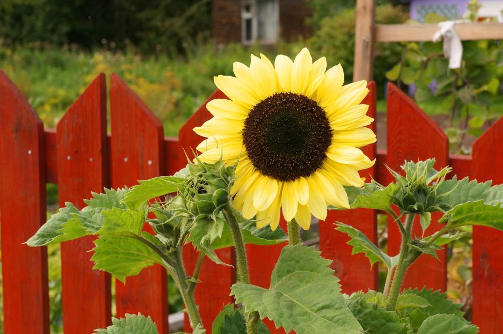 Солнце . Блиц: желтые цветы