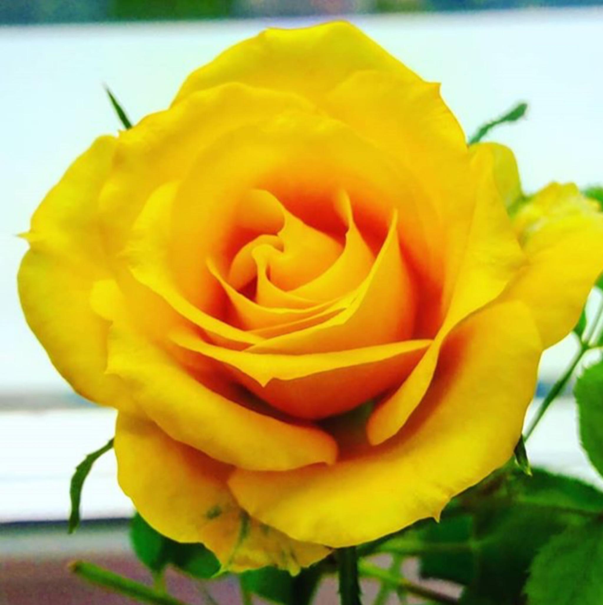 Солнечная роза. Блиц: желтые цветы