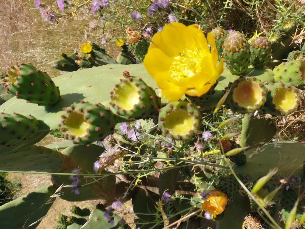 Кактусы, кактусы, синего моря привееееет.... Блиц: желтые цветы