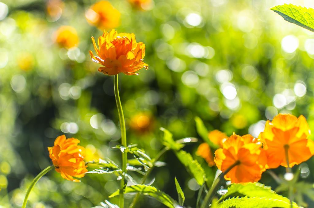 Цветы Алтая. Блиц: желтые цветы