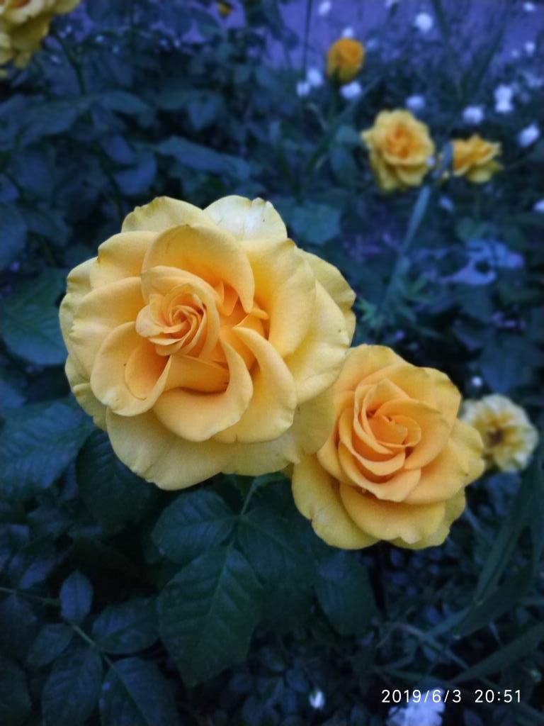 Розы цвета солнышка. Блиц: желтые цветы