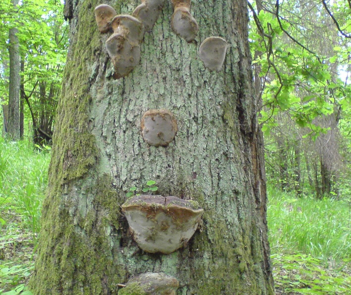 дубовые грибы . Блиц: грибное царство