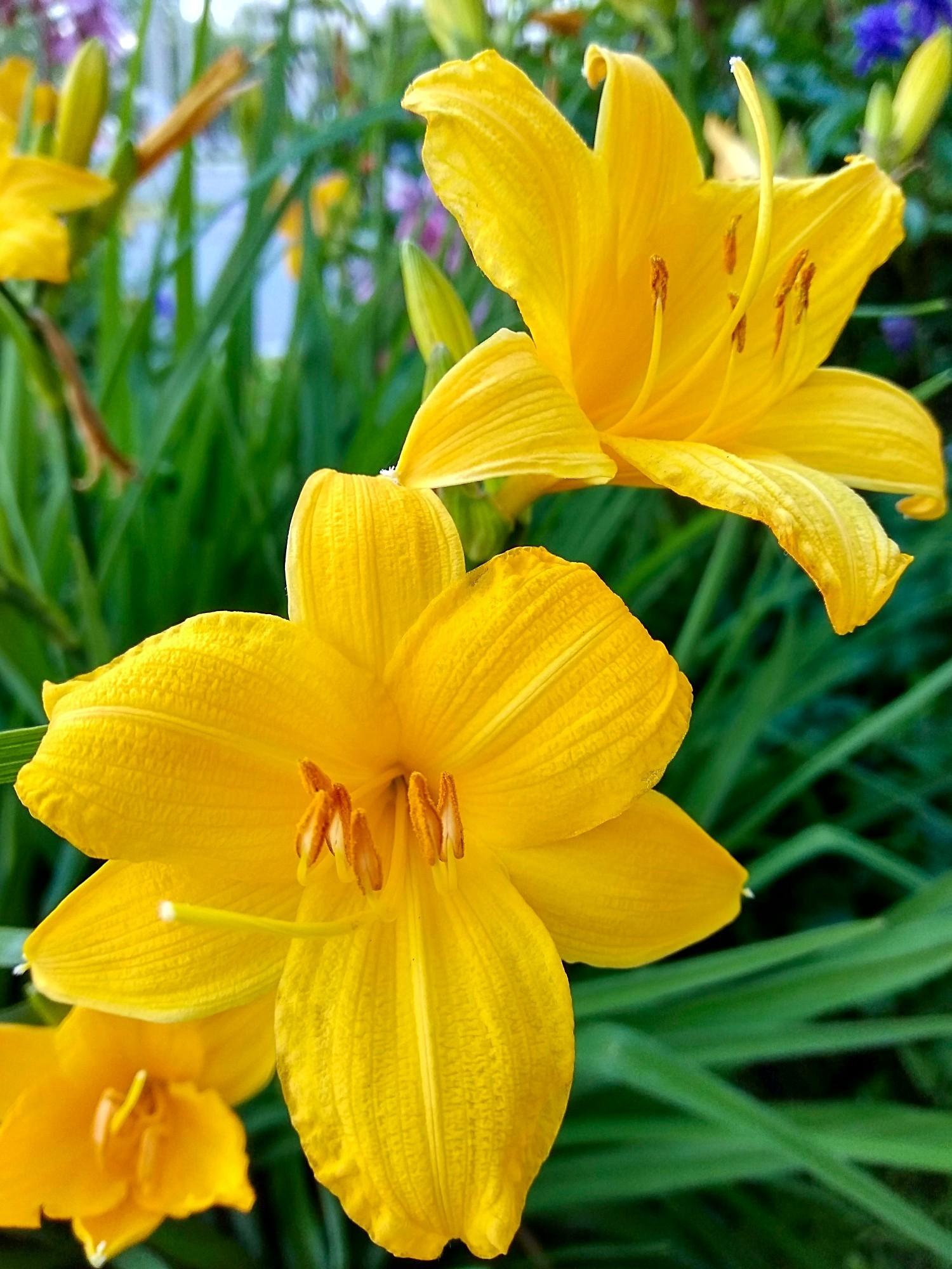 Жёлтые лилии. Блиц: желтые цветы