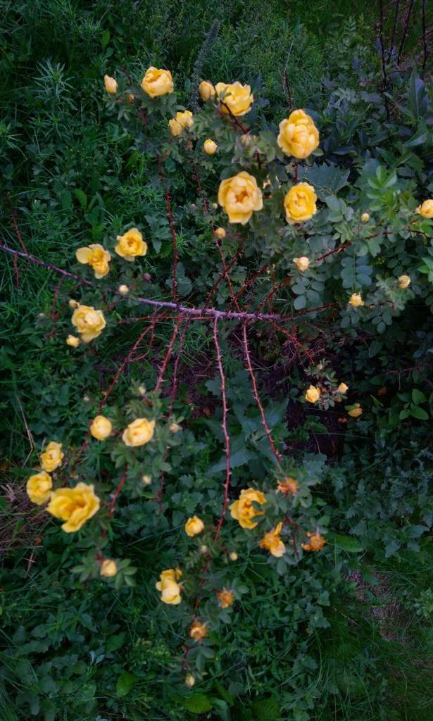 Шиповник в цвету. . Блиц: желтые цветы