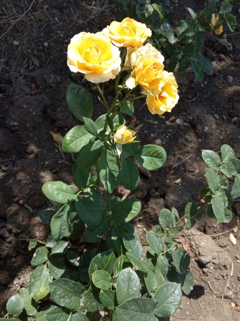 Первый год на моей даче цветут розы))). Блиц: желтые цветы