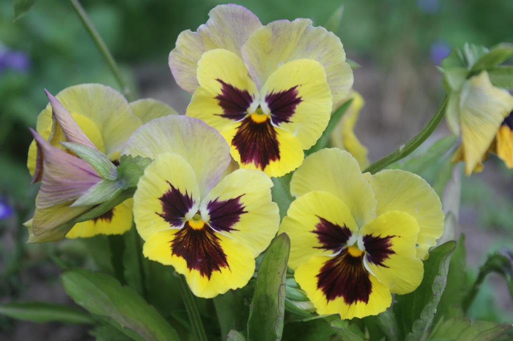 Три сестрицы. Блиц: желтые цветы