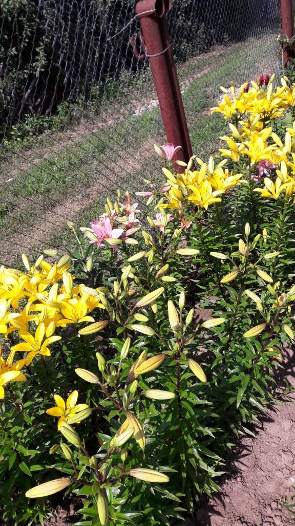 ЖЕЛТЫЕ ЛИЛИИ. Блиц: желтые цветы